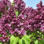 Syringa-vulgaris-mrs-edward-harding
